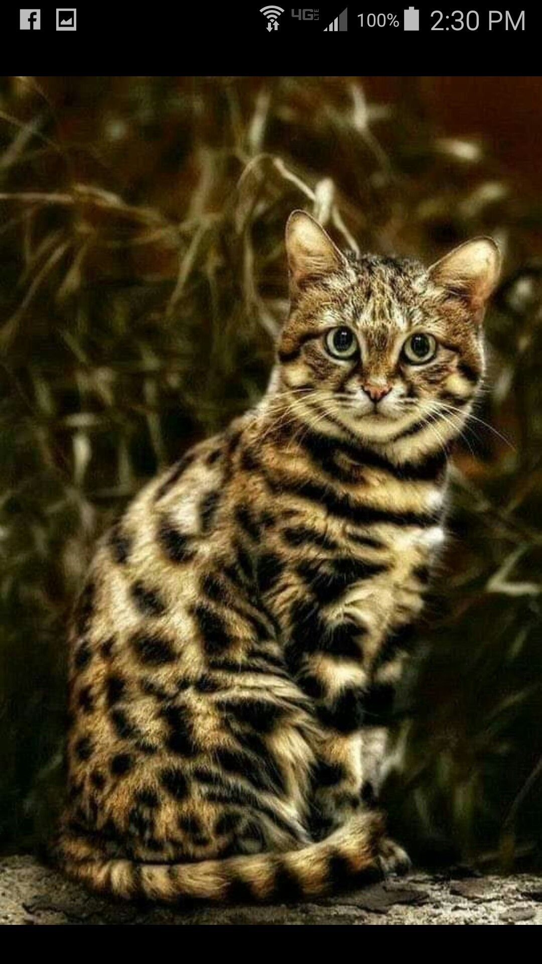 Are Black Footed Cats Good Pets post thumbnail image